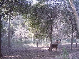 Chichawatni - Forested land near Chichawatni