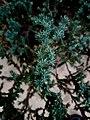 Juniperus procumbens at Akola, India.jpg