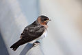 Juvenile Cliff Swallow.jpg
