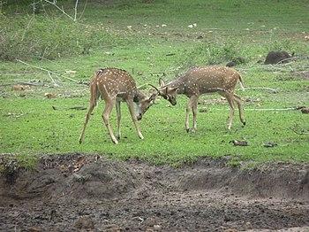 Juvenile deer.jpg