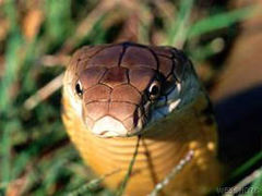 The King Cobra, Ophiophagus hannah