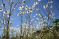 Kamillenblüten von unten IMG 2130.JPG