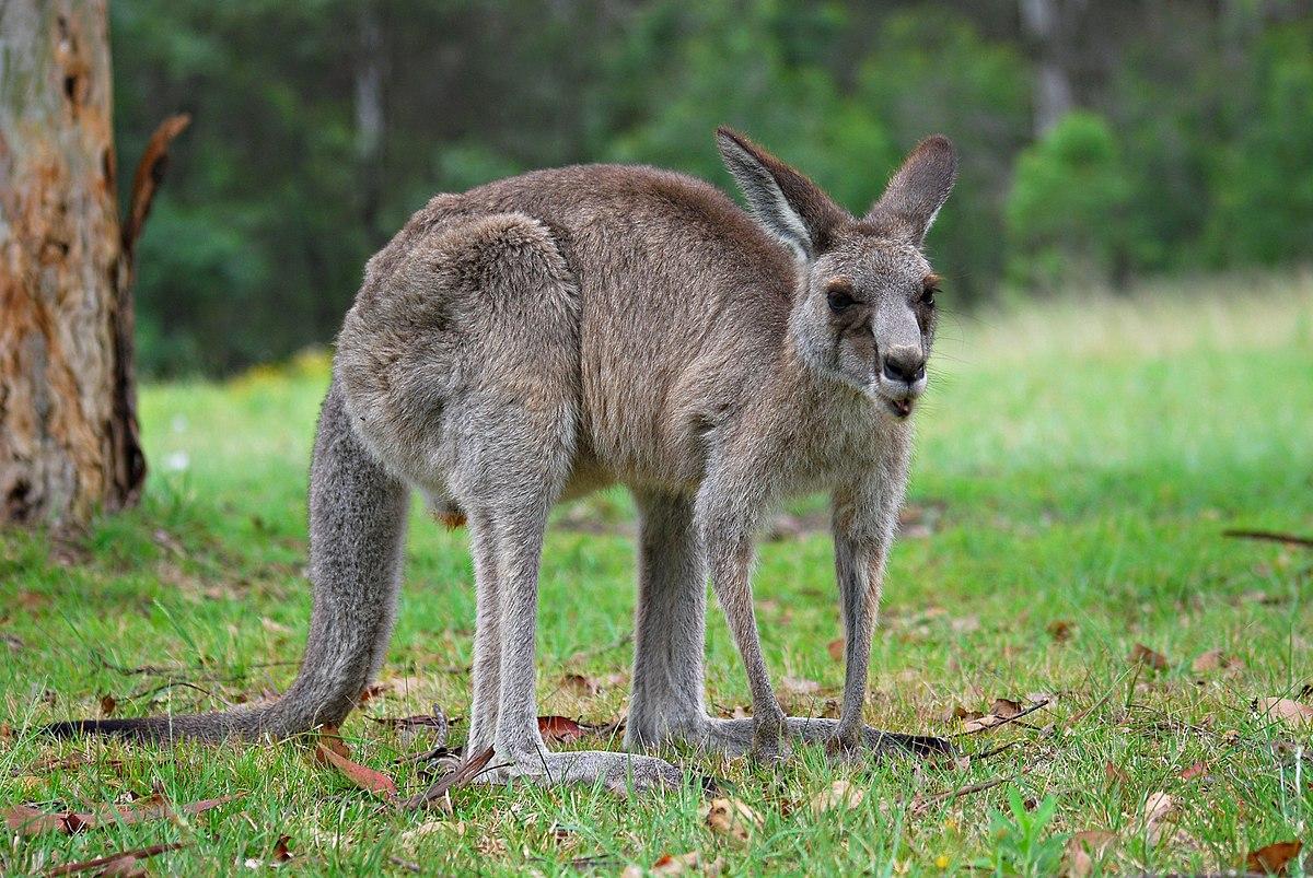 13ce031a93917 Kangaroo - Wikipedia