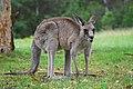 Kangaroo Australia 01 11 2008 - retouch.JPG