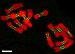 Karyotype of pea (Pisum sativum).png