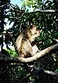 Kera Ekor Panjang Pulau Kembang, Barito Kuala, 26062017.jpg