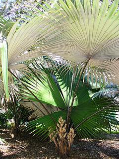 <i>Kerriodoxa</i> Genus of palms