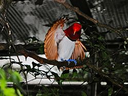King Bird-of paradise Cicinnurus regius (6970128684).jpg