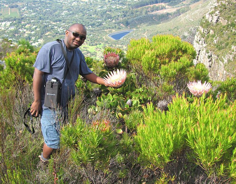 File:King Protea in Peninsula Sandstone Fynbos - Table Mountain - Cape Town SA.jpg