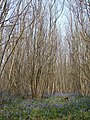 Kings Wood - geograph.org.uk - 403269.jpg