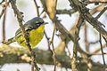 Kirtland's Warbler (Setophaga kirtlandii) (26238424243).jpg