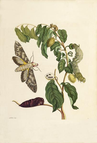 File:Kleine zuurzak Maria Sibylla Merian 1705 plate III.png