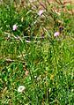 Knautia arvensis ENBLA05.jpg