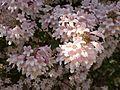 Kolkwitzia amabilis in Jardin des Plantes of Paris 05.jpg
