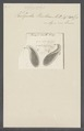 Kolpoda rostrum - - Print - Iconographia Zoologica - Special Collections University of Amsterdam - UBAINV0274 113 17 0003.tif