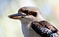 Kookaburra Australia. (9312272960).jpg