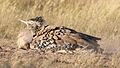 Kori bustard, Ardeotis kori, at Kgalagadi Transfrontier Park, Northern Cape, South Africa (34535342375).jpg
