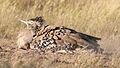 Kori bustard, Ardeotis kori, at Kgalagadi Transfrontier Park, Northern Cape, South Africa (34535342375).jpg