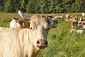 Kráva pasoucí se na louce, Veselíčko, Luká, okres Olomouc.jpg