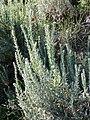 Krascheninnikovia ceratoides sl54.jpg