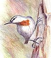 Krupersnuthatch.jpg