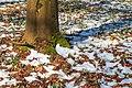Kvetoucí sněženky v PP Sněženky ve Vysokém lese 26.jpg