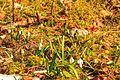 Kvetoucí sněženky v PP Sněženky ve Vysokém lese 46.jpg