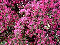 Kwitnąca Rajska jabłoń - Malus - panoramio (1).jpg