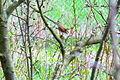 LSG0025QLB (Bode-Selke-Aue) Wedderstedt Singvogel Nachtigall 1.JPG