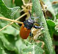 Labidostomis species. Chrysomelidae - Flickr - gailhampshire.jpg