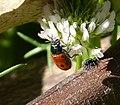 Lachnaia tristigma. Chrysomelidae (32484678351).jpg