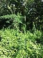 Lactuca quercina sl43.jpg