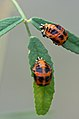 Ladybird larvae (35300062924).jpg