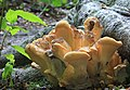 Laetiporus sulphureus, Chicken of the Woods, UK.jpg