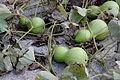 Lagenaria siceraria 4.JPG
