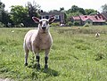 Lamb on Coombe Green Common - geograph.org.uk - 481345.jpg