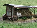 Lamb sheltering in field in Penmachno - geograph.org.uk - 1433152.jpg