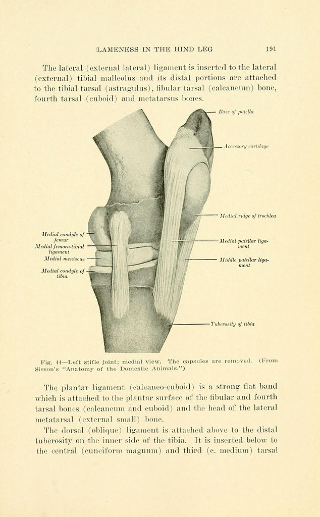 File:Lameness of the horse (Page 191) BHL21975951.jpg - Wikimedia ...