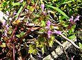Lamium purpureum var incisum1.jpg