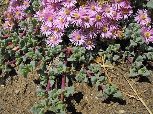 Lampranthusdeltoides1