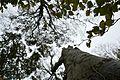 Landschaftsschutzgebiet Kühlung - Nienhäger Holz (Gespensterwald) - Blick nach oben (3).jpg