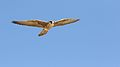 Lanner falcon, Falco biarmicus, at Kgalagadi Transfrontier Park, Northern Cape, South Africa (33767245333).jpg