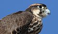 Lanner falcon, Falco biarmicus, at Kgalagadi Transfrontier Park, Northern Cape, South Africa (34415571892).jpg