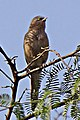 Large Grey Babbler by (cropped).jpg