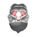 Lateral parts of occipital bone15.png