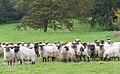 Latxa Sheep (234836319).jpeg
