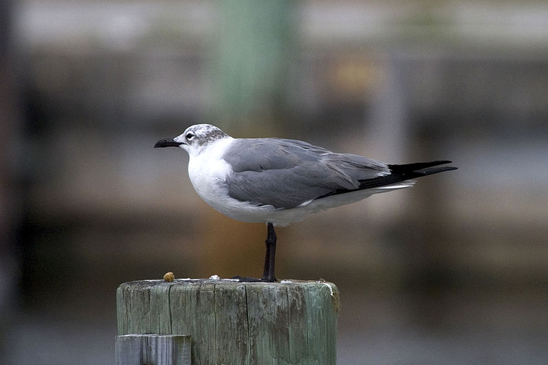 File:Laughing Gull, NPSPhoto, R. Cammauf (9101523868).jpg