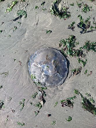 Albany Bulb - A beached jellyfish and kelp on the sandy shore of the Bulb
