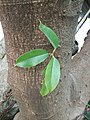The adventitious bud of Ficus superba. 雀榕的不定芽。