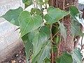 Leaf of Thespesia populnea.jpg